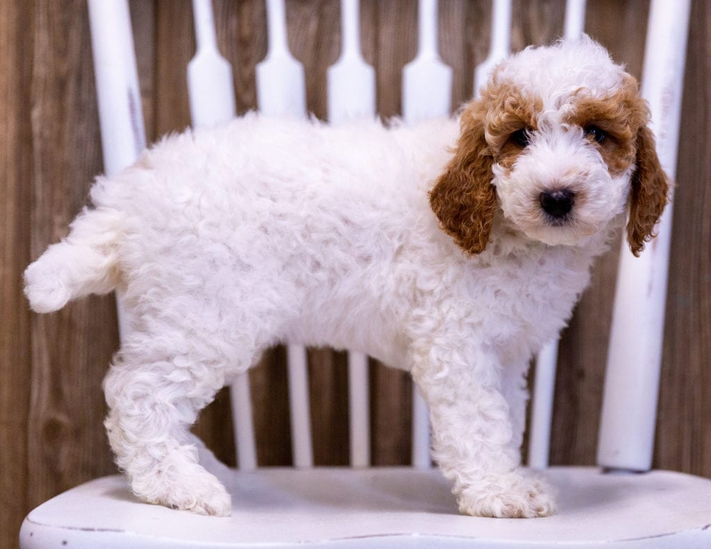 Gypsy came from Candice and Milo's litter of  Poodles
