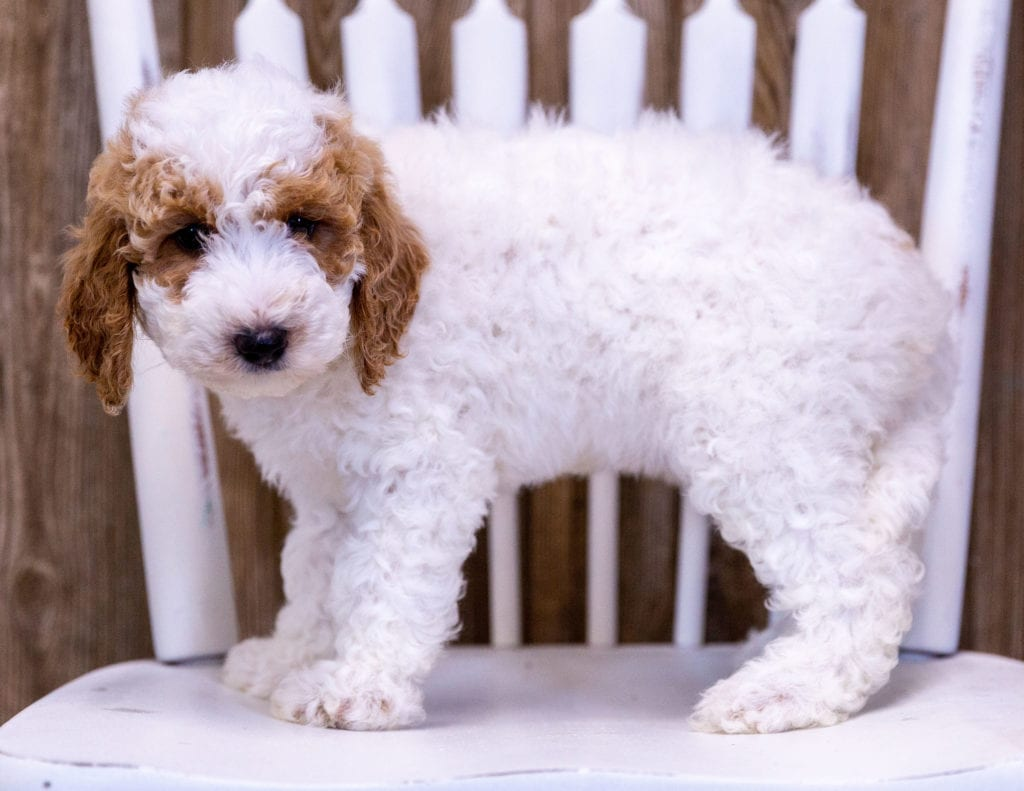 Gypsy is an  Poodle that should have  and is currently living in Colorado