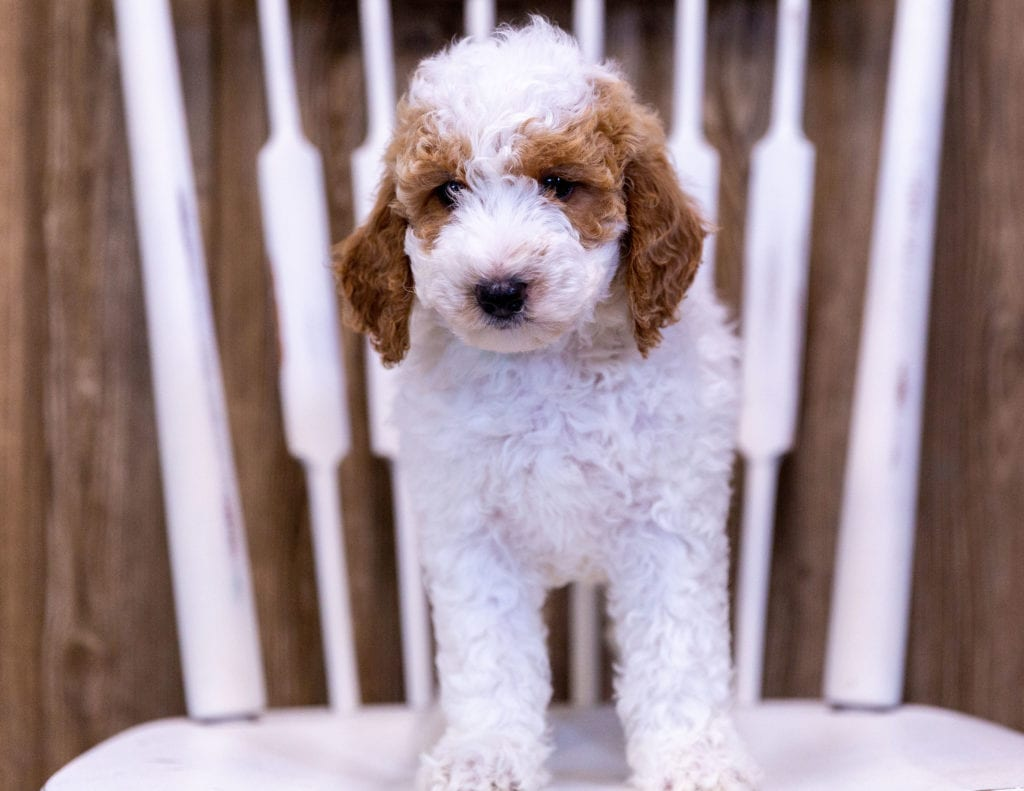 A picture of a Gypsy, one of our Mini Poodles puppies that went to their home in Colorado