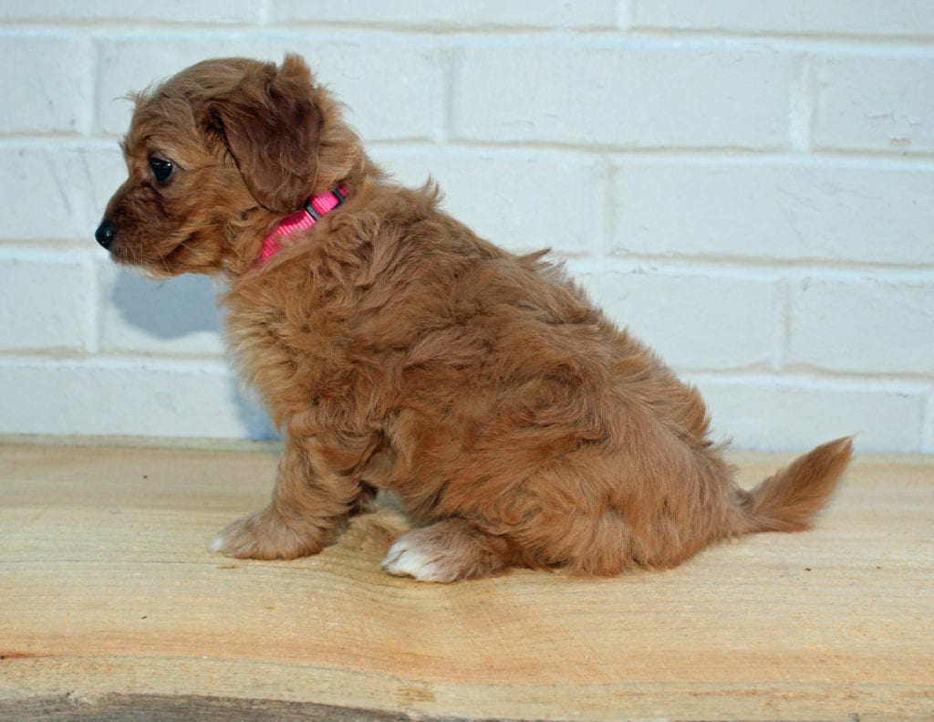 Hazel came from Scarlett and Taylor's litter of F1BB Goldendoodles