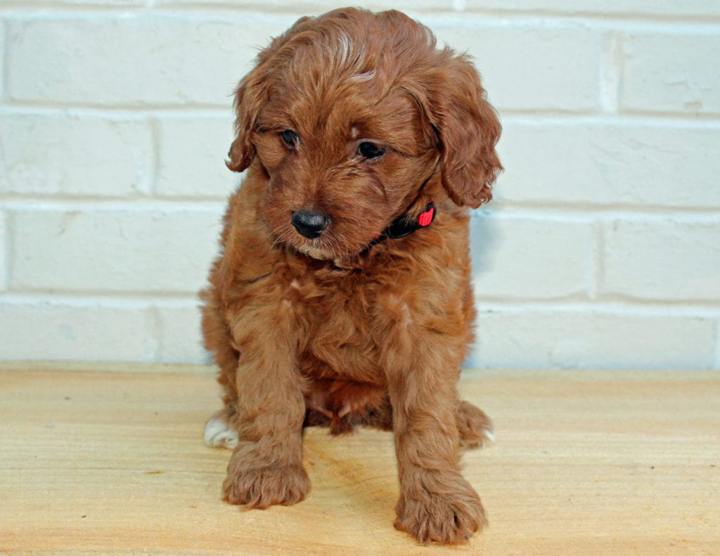 A picture of a Henry, one of our Petite Goldendoodles puppies that went to their home in Pennsylvania