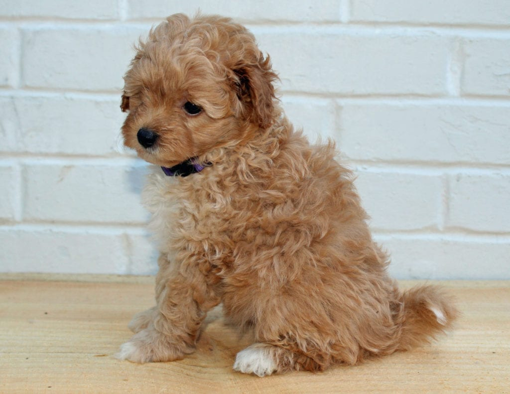 Honey is an F1BB Goldendoodle that should have  and is currently living in Illinois
