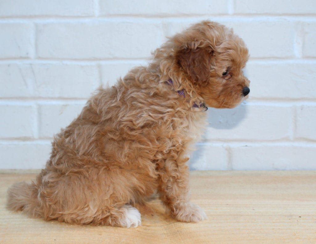 Honey came from Scarlett and Taylor's litter of F1BB Goldendoodles