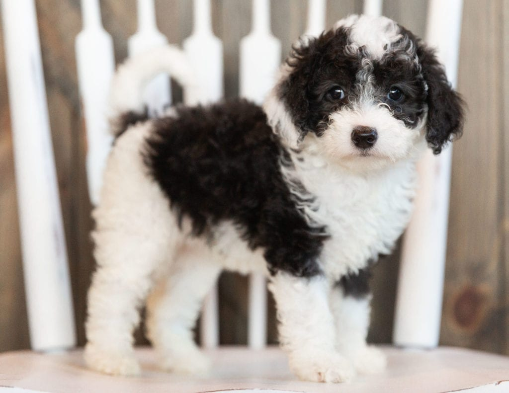 A picture of a Idis, one of our Mini Sheepadoodles puppies that went to their home in Minnesota