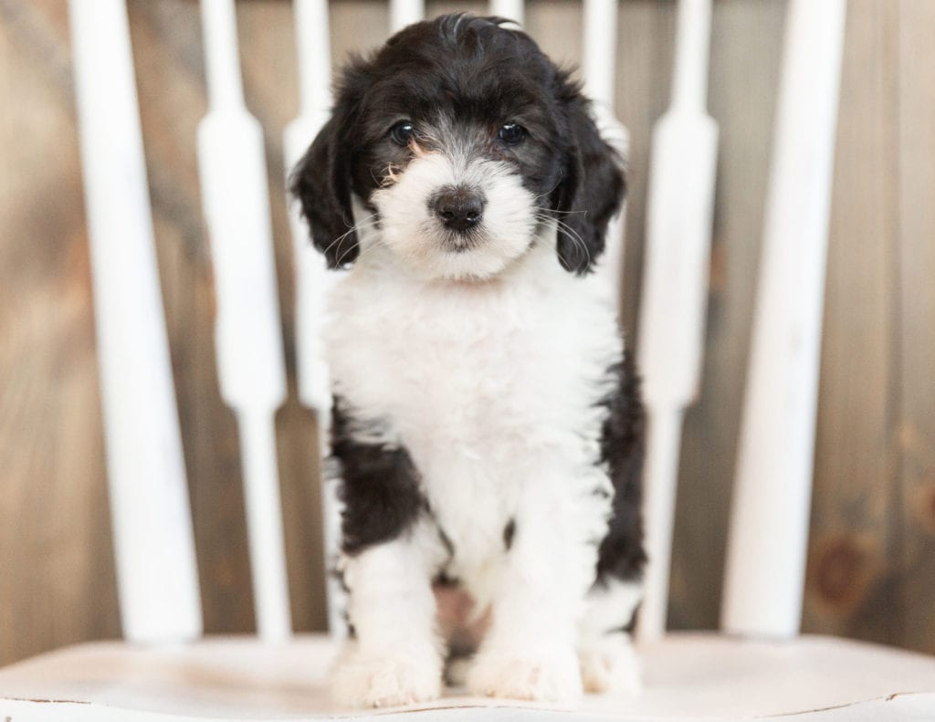 Imax is an F1B Sheepadoodle that should have  and is currently living in Massachusetts