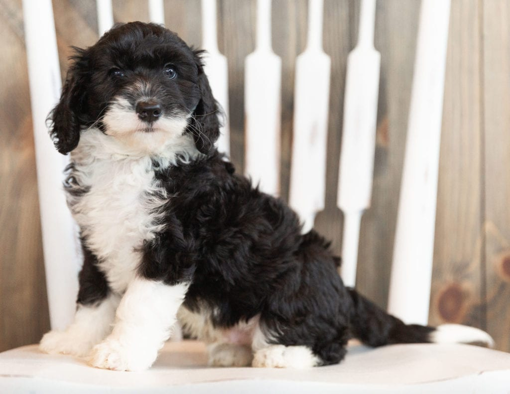 Index is an F1B Sheepadoodle that should have  and is currently living in Georgia