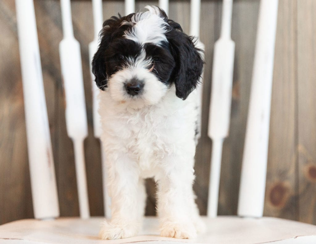 Indi is an F1B Sheepadoodle that should have  and is currently living in Wisconsin