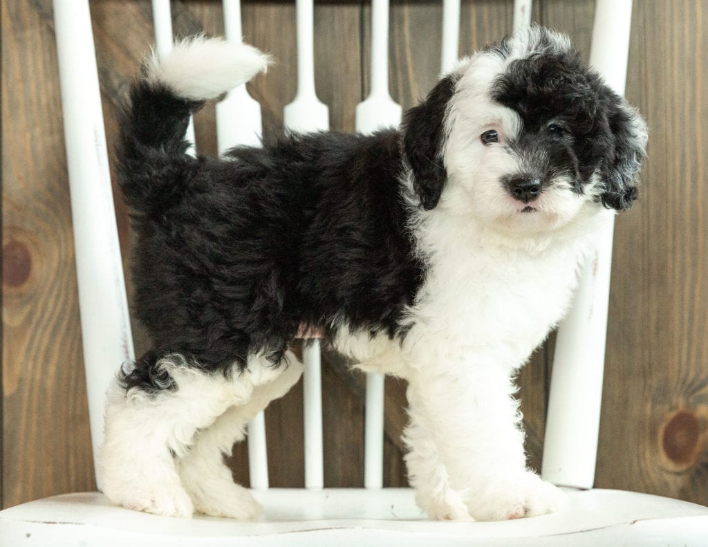 Jada came from Kami and Indy's litter of F1 Sheepadoodles