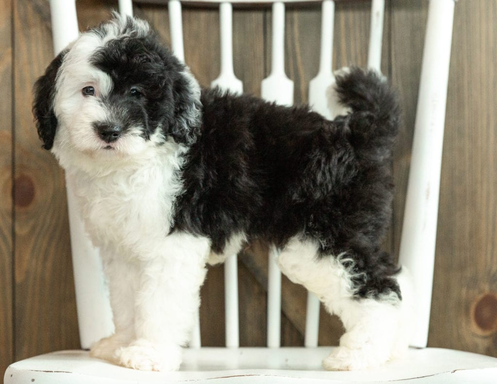 Jada is an F1 Sheepadoodle that should have  and is currently living in Minnesota