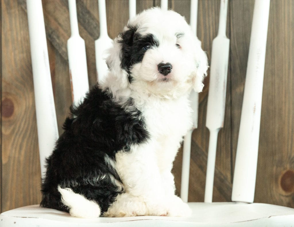 Jagger is an F1 Sheepadoodle that should have  and is currently living in Massachusetts