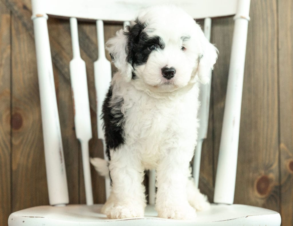 Jagger came from Kami and Indy's litter of F1 Sheepadoodles