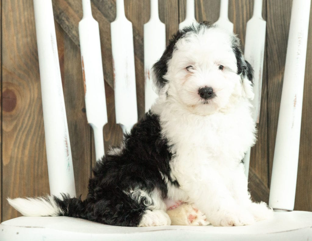 A picture of a Jane, one of our Mini Sheepadoodles puppies that went to their home in South Dakota
