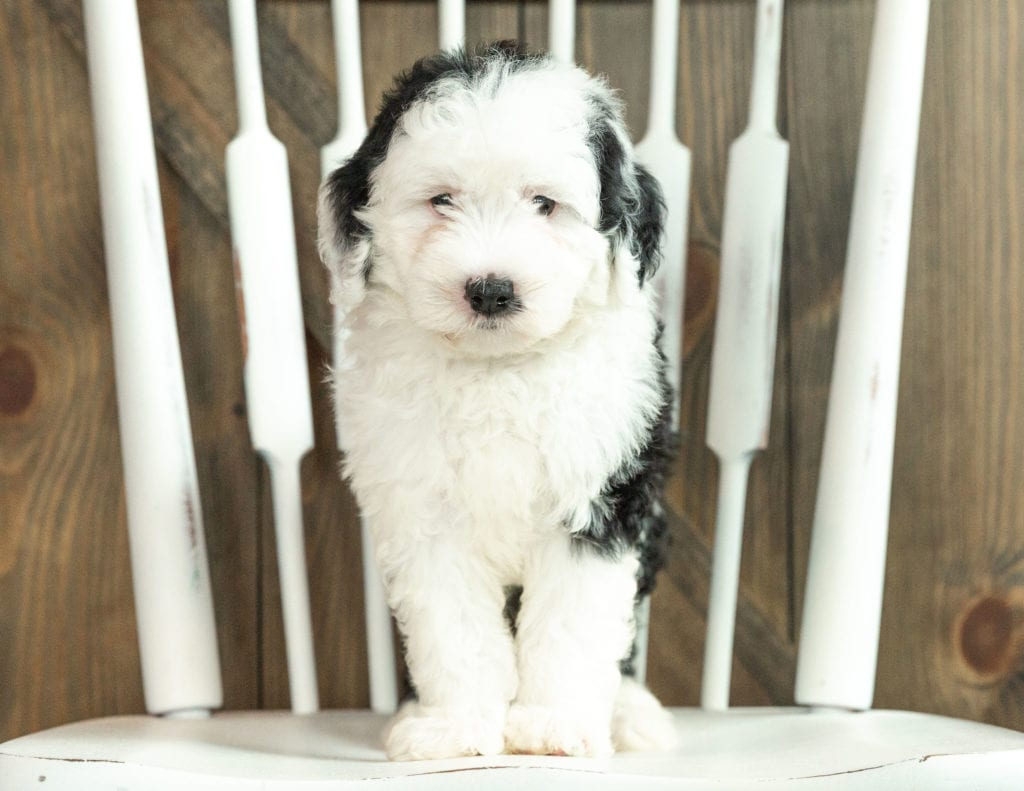 Jane is an F1 Sheepadoodle that should have  and is currently living in South Dakota