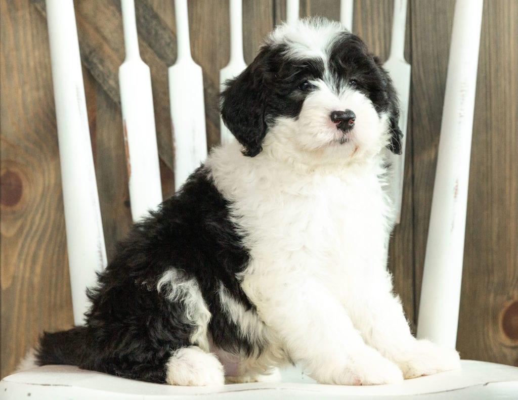 Jasper came from Kami and Indy's litter of F1 Sheepadoodles