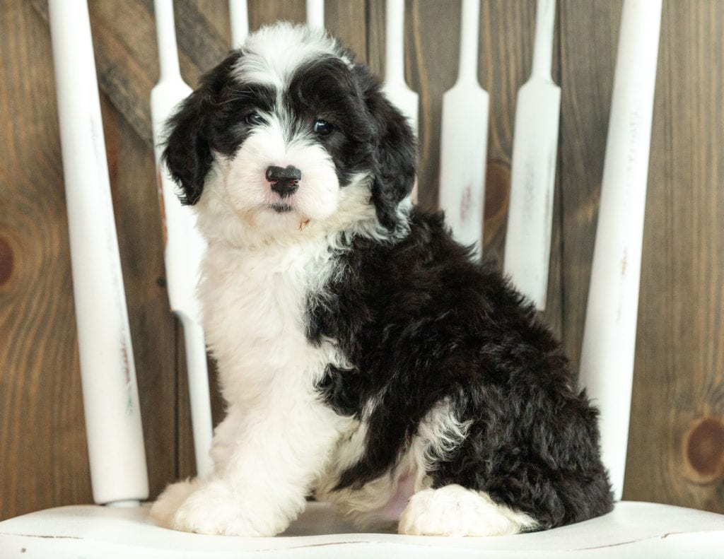 A picture of a Jasper, one of our Mini Sheepadoodles puppies that went to their home in Florida