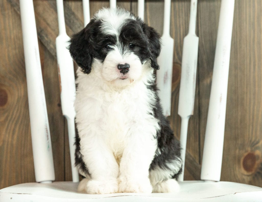 Jasper is an F1 Sheepadoodle that should have  and is currently living in Florida