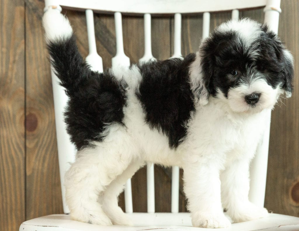 Joey came from Kami and Indy's litter of F1 Sheepadoodles