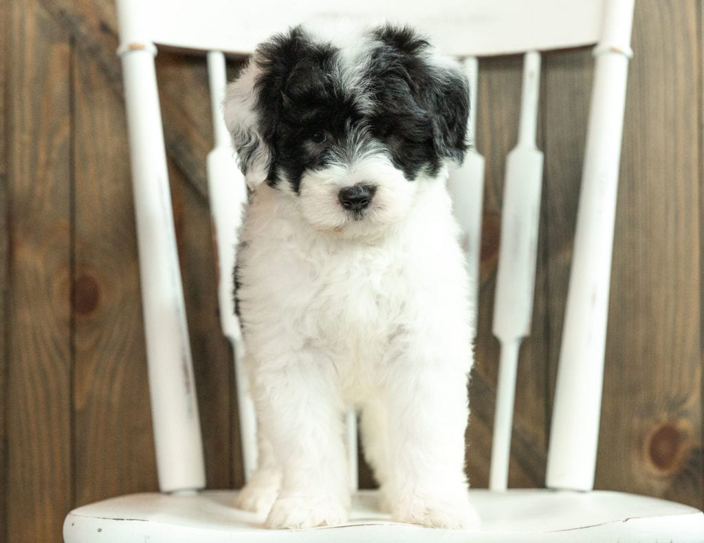 A picture of a Joey, one of our Mini Sheepadoodles puppies that went to their home in Iowa