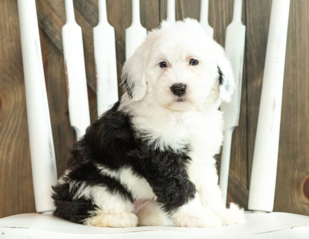 Josie is an F1 Sheepadoodle that should have  and is currently living in Massachusetts