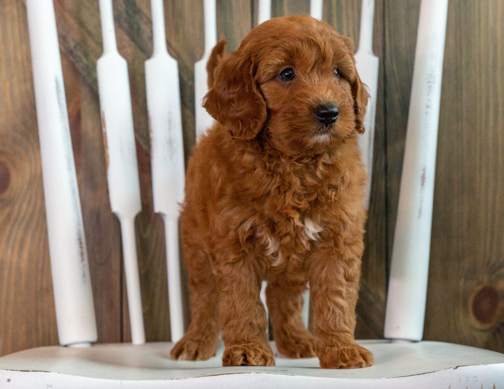 Karen is an F1 Goldendoodle that should have  and is currently living in Minnesota