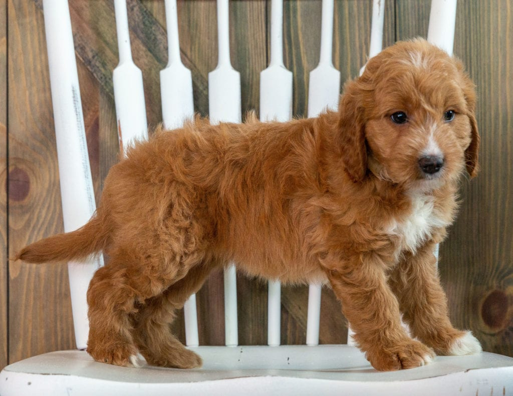 Kay came from Marlee and Milo's litter of F1 Goldendoodles