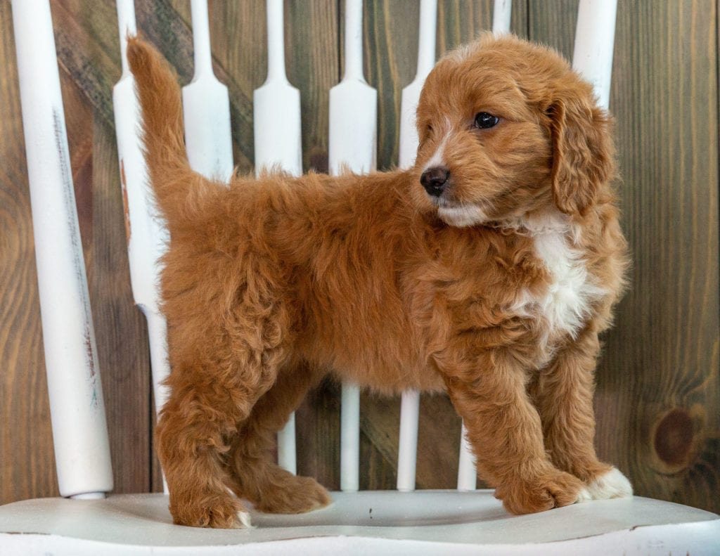 Kay is an F1 Goldendoodle that should have  and is currently living in Massachusetts
