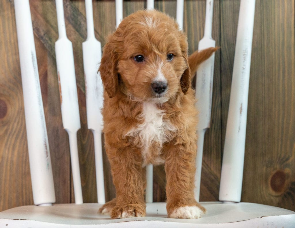 A picture of a Kay, one of our Mini Goldendoodles puppies that went to their home in Massachusetts