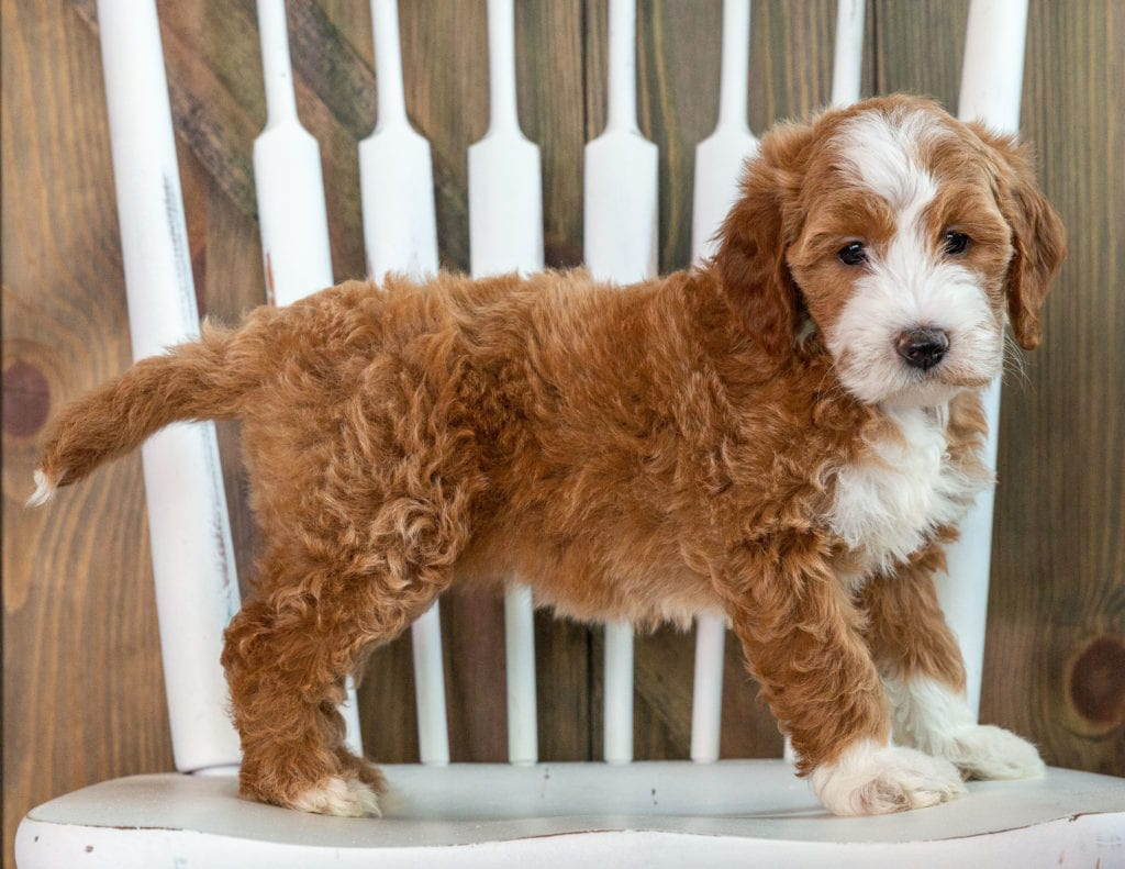 Kiva is an F1 Goldendoodle that should have  and is currently living in New York