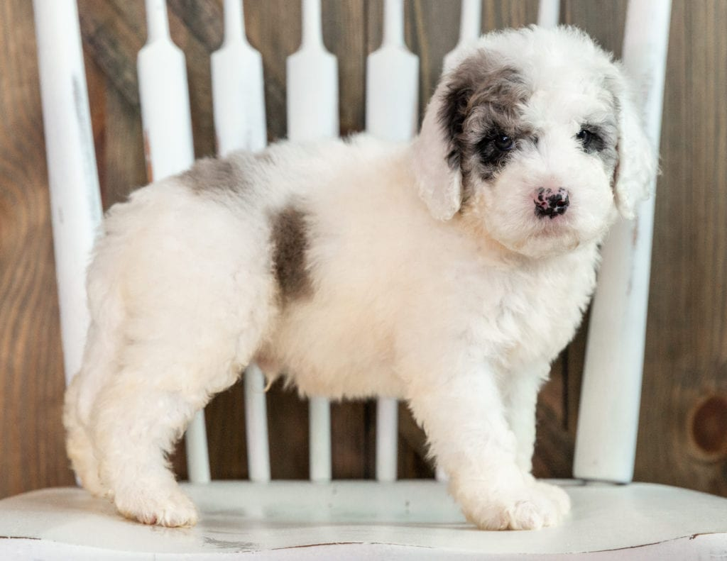 Lance is an F1B Sheepadoodle that should have  and is currently living in Illinois