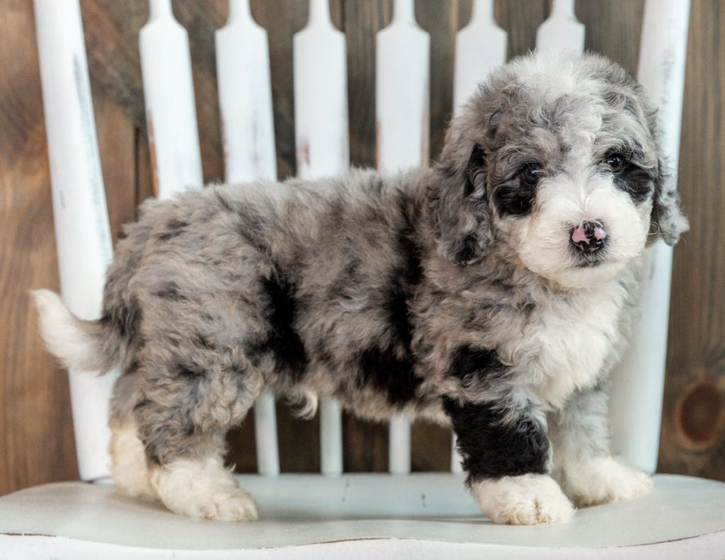 A picture of a Lenny, one of our Mini Sheepadoodles puppies that went to their home in South Dakota