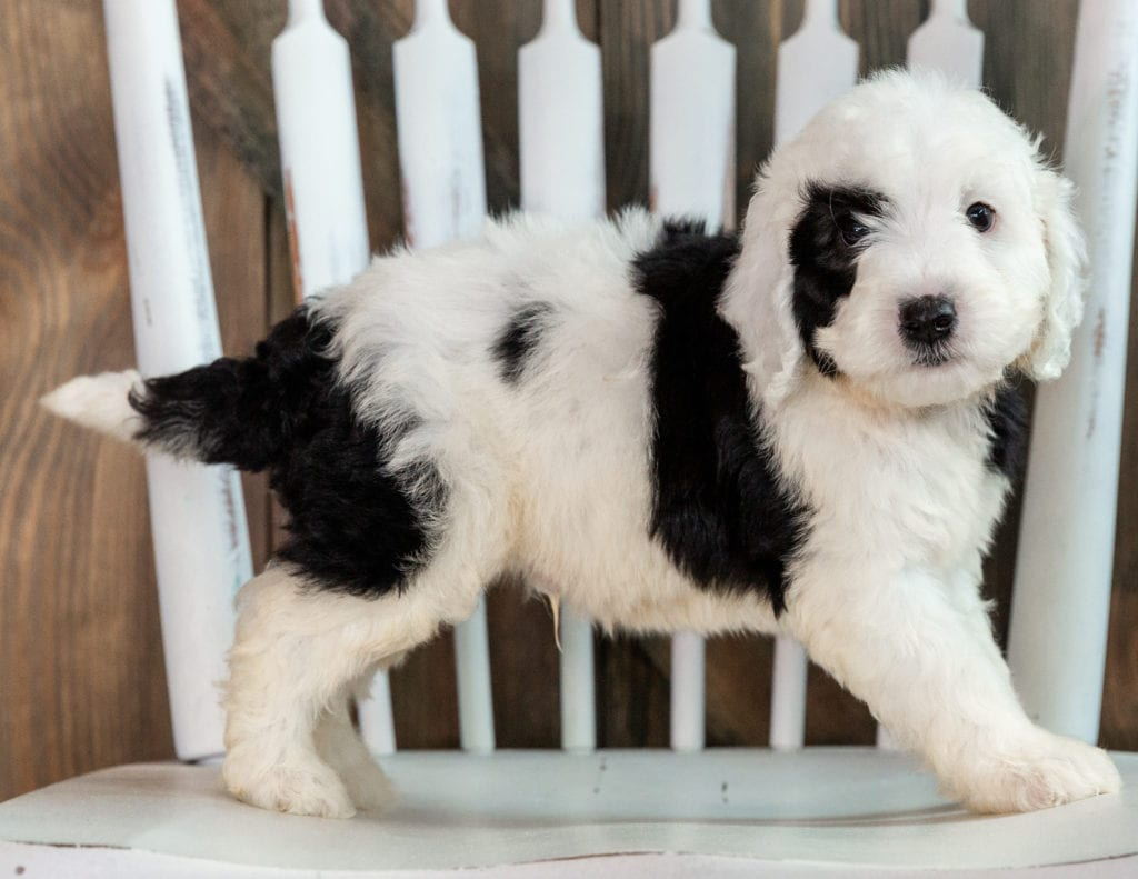 Levi is an F1B Sheepadoodle that should have  and is currently living in California