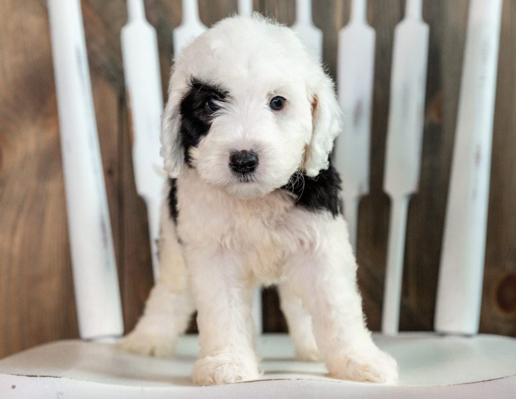 A picture of a Levi, one of our Mini Sheepadoodles puppies that went to their home in California