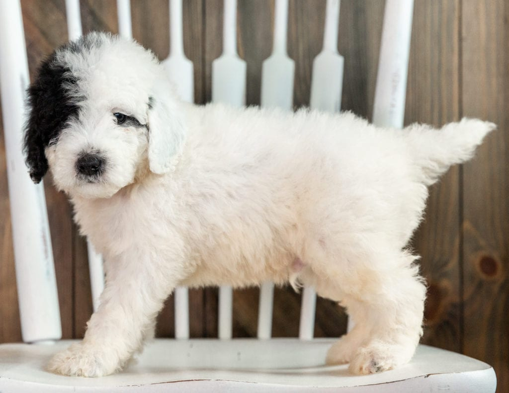 Liam is an F1B Sheepadoodle that should have  and is currently living in Nebraska