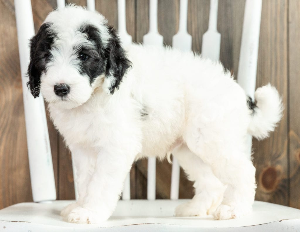 Linus is an F1B Sheepadoodle that should have  and is currently living in California
