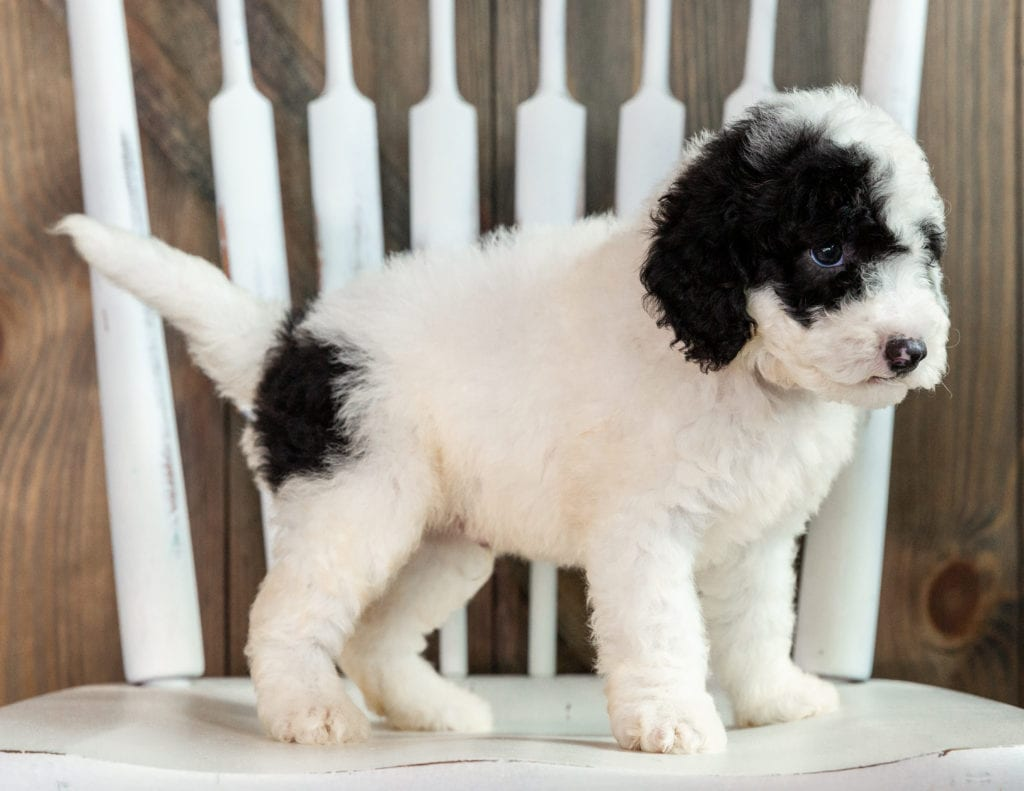 Lucky is an F1B Sheepadoodle that should have  and is currently living in Iowa