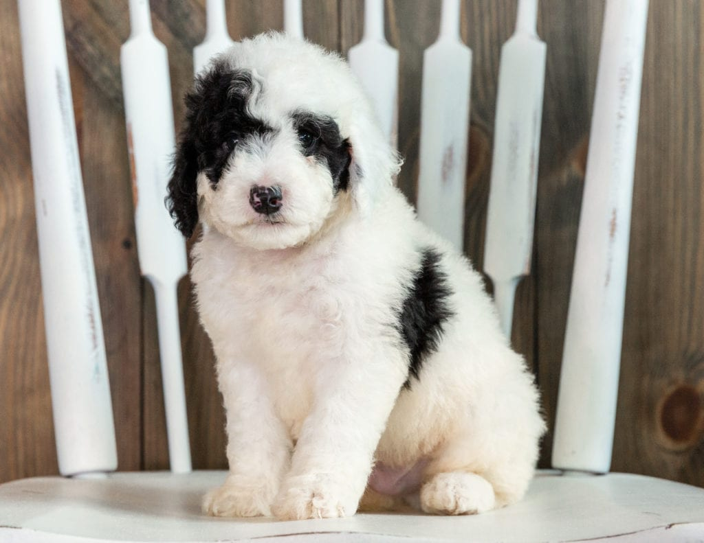 A Poodles 2 Doodles litter of Mini Sheepadoodles raised in Iowa