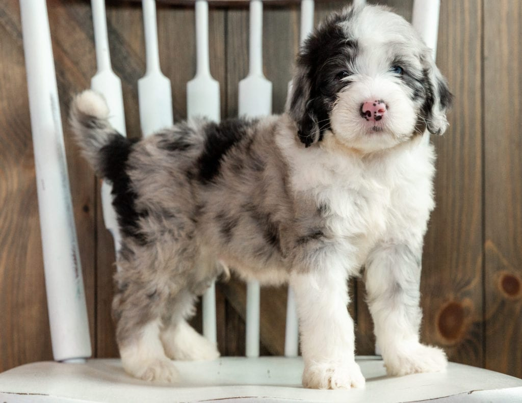 A picture of a Luke, one of our Mini Sheepadoodles puppies that went to their home in Texas