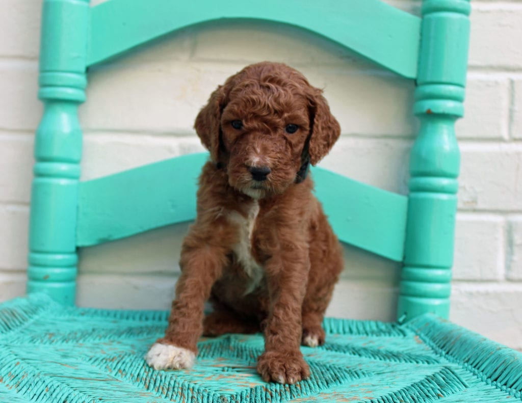 A picture of a Major, one of our Standard Irish Doodles puppies that went to their home in Indianapolis