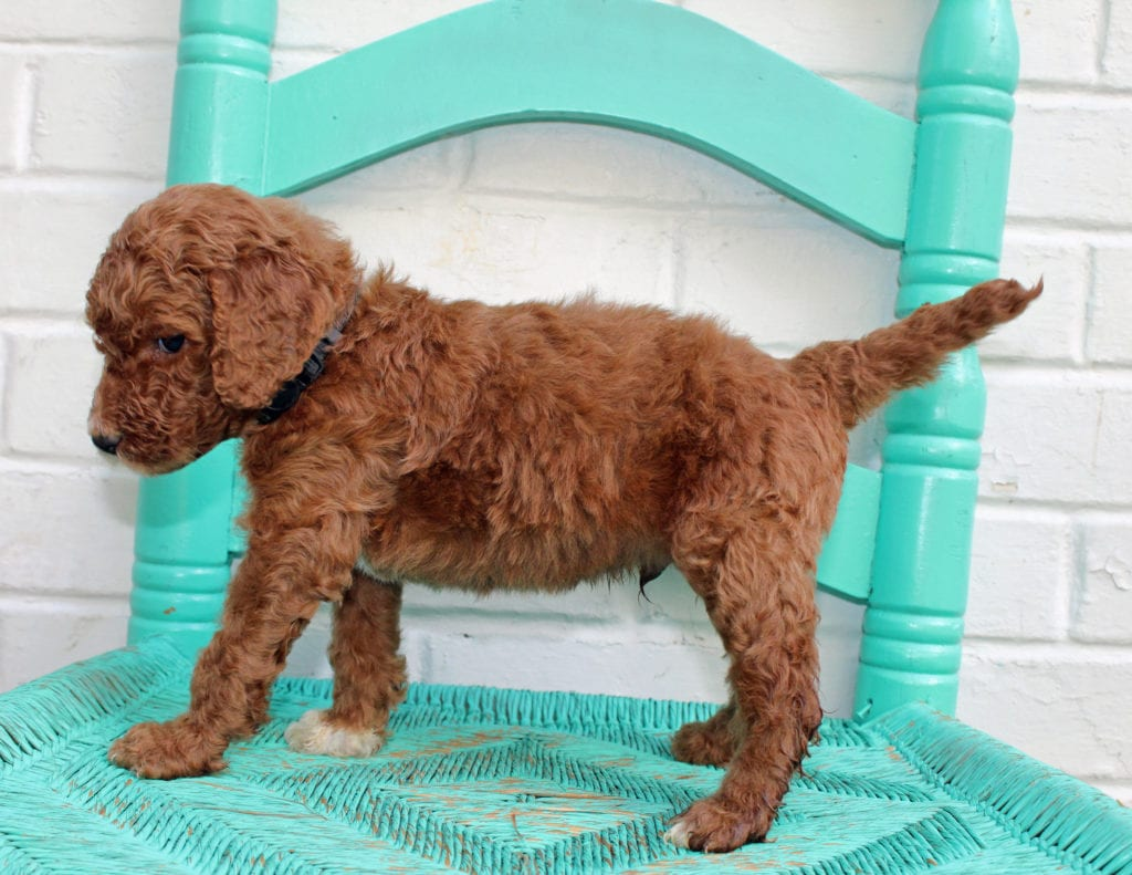 Major is an F1BB Irish Doodle that should have  and is currently living in Indianapolis
