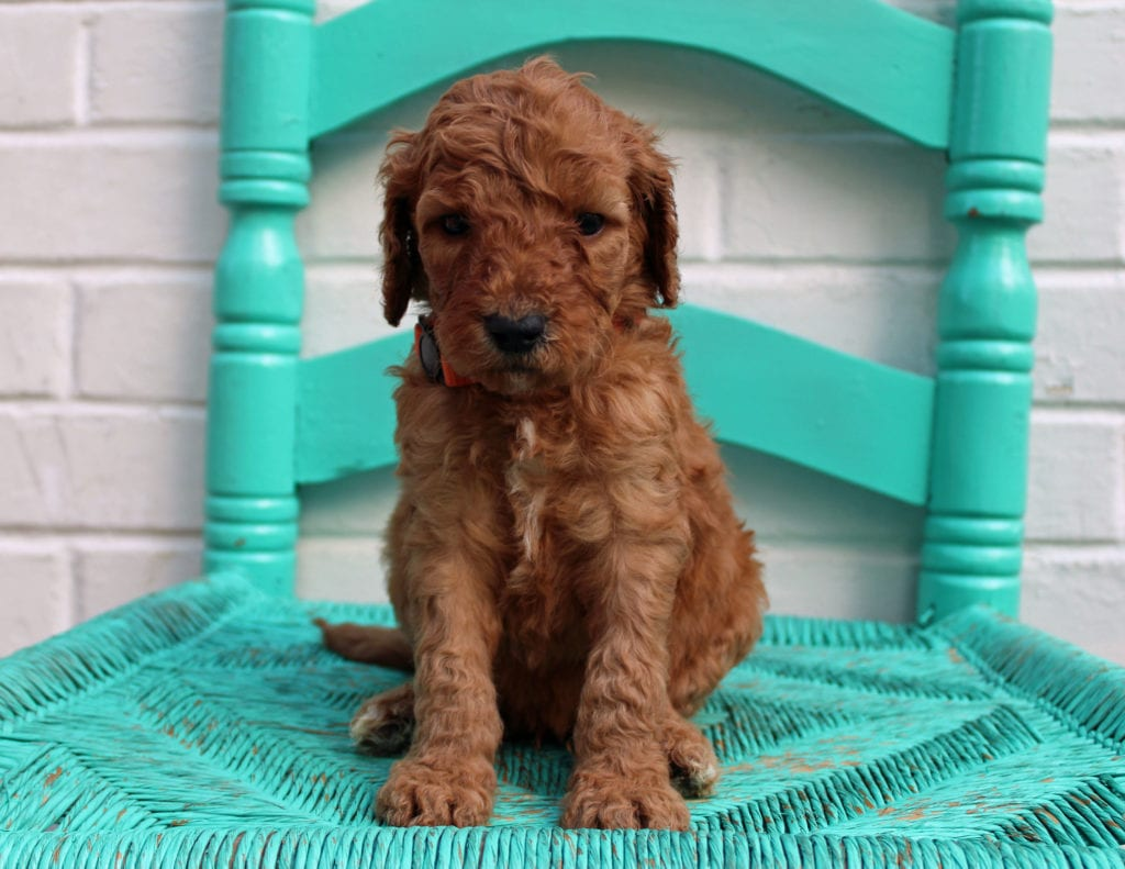 A picture of a Malone, one of our Standard Irish Doodles puppies that went to their home in Illinois