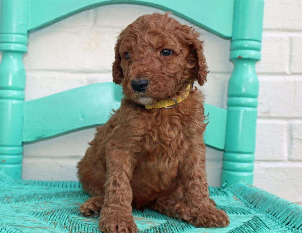 A picture of a Manny, one of our Standard Irish Doodles puppies that went to their home in Florida