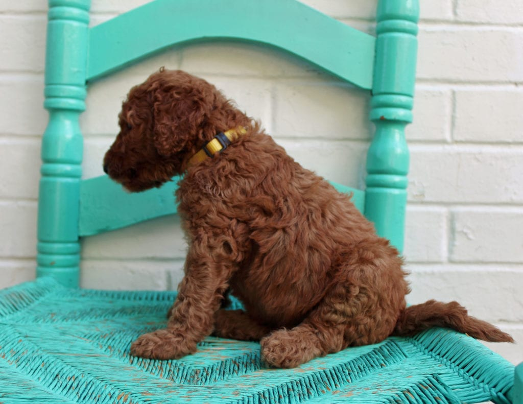 Manny is an F1BB Irish Doodle that should have  and is currently living in Florida