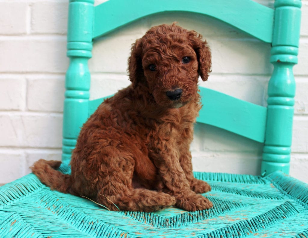 Manny came from Hadley and Scout's litter of F1BB Irish Doodles