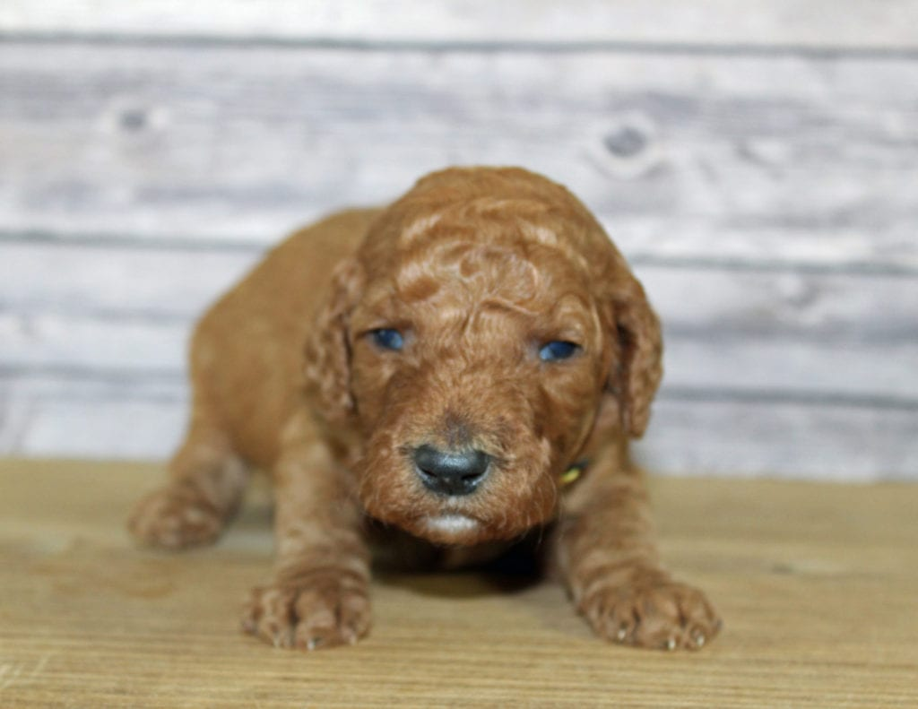 "Want to learn more about Irish Doodles? Check out our blog post titled ""The New Dog Breed Everyone Seems to Want"""