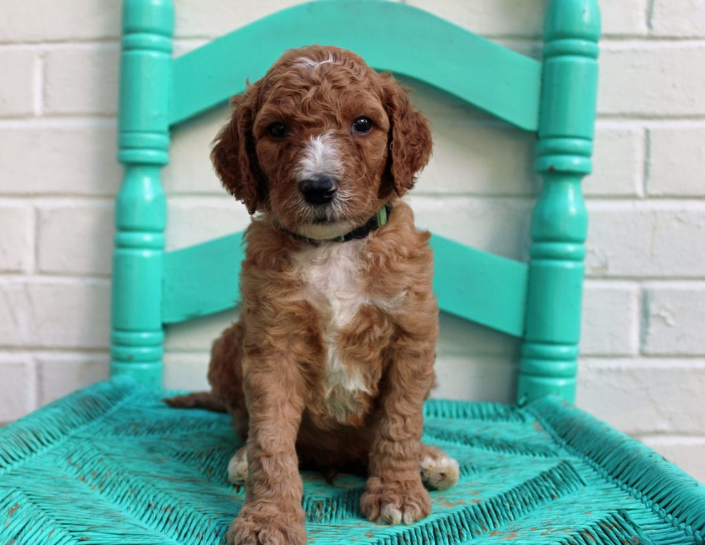 A picture of a Marcel, one of our Standard Irish Doodles puppies that went to their home in Minnesota