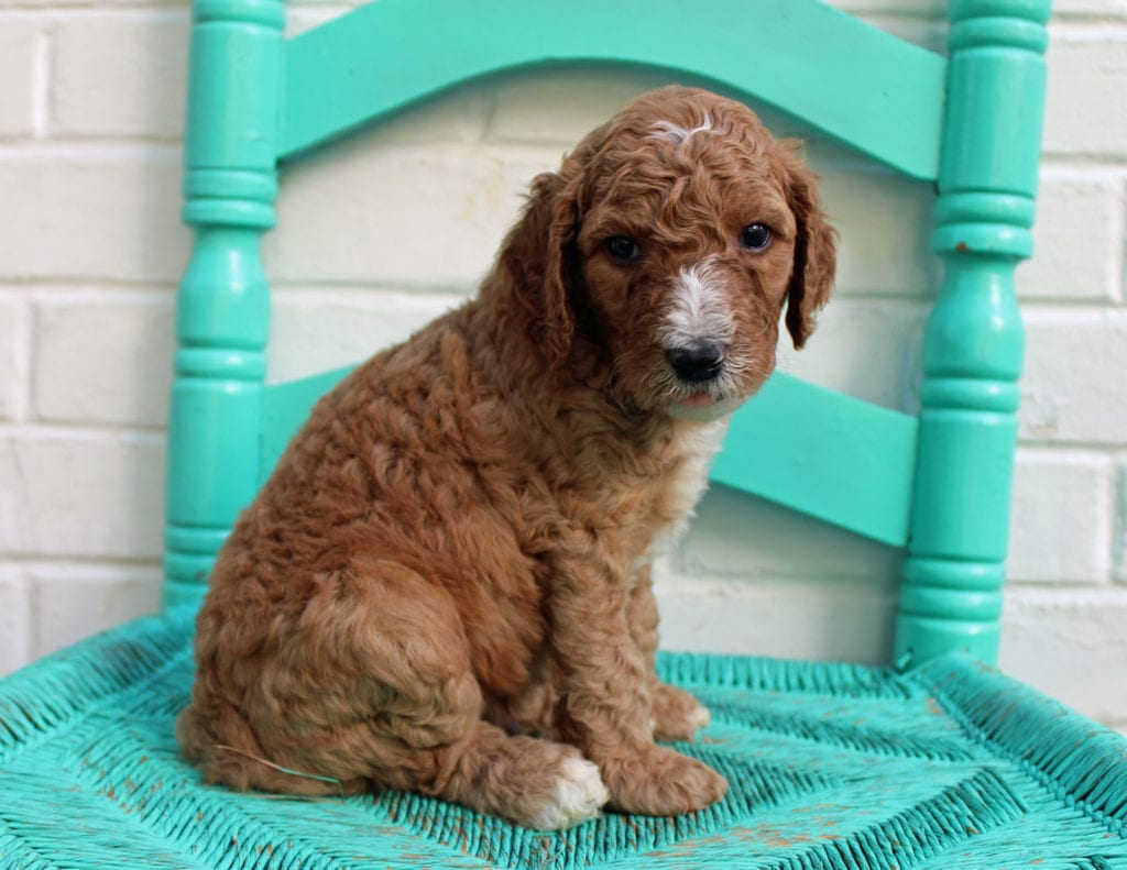 Marcel is an F1BB Irish Doodle that should have  and is currently living in Minnesota