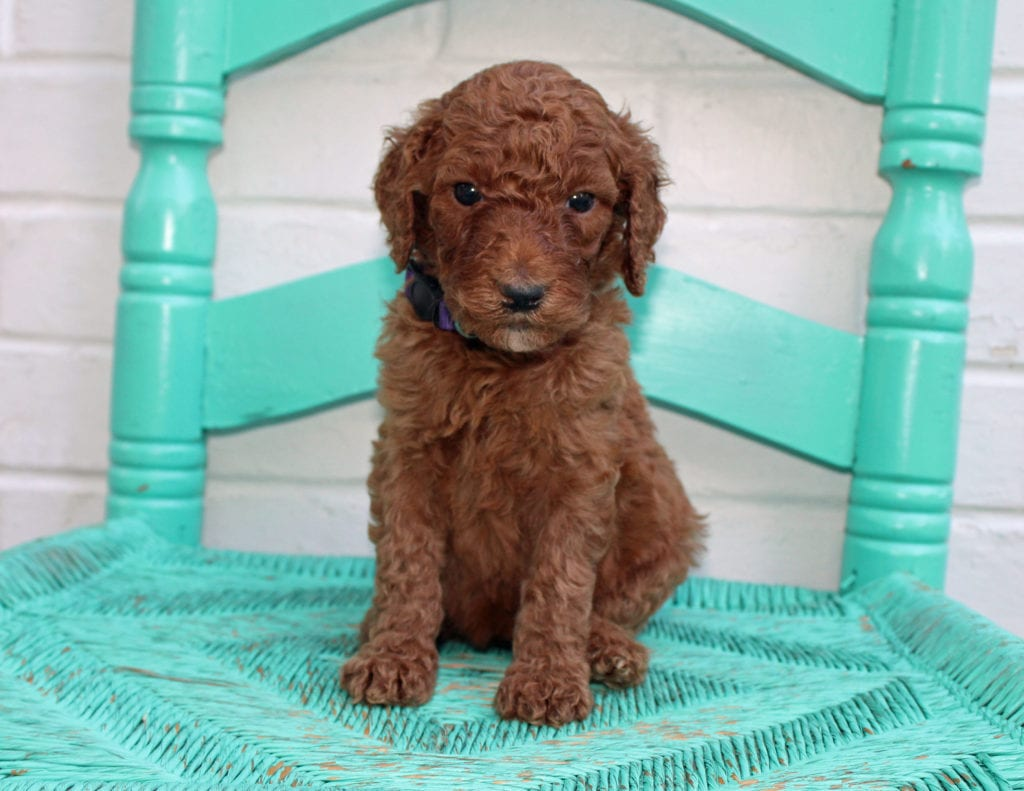A picture of a Meadow, one of our Standard Irish Doodles puppies that went to their home in Minnesota