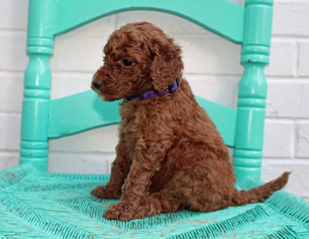 Meadow is an F1BB Irish Doodle that should have  and is currently living in Minnesota