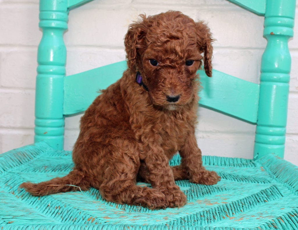 Meadow came from Hadley and Scout's litter of F1BB Irish Doodles