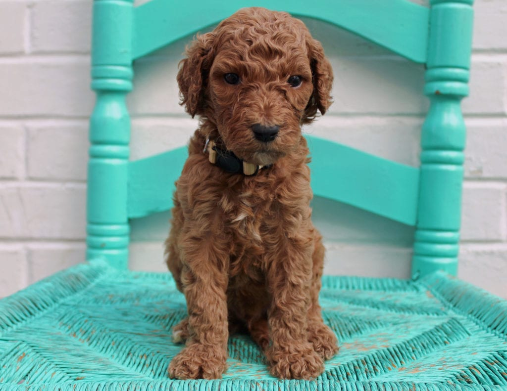 A picture of a Miles, one of our Standard Irish Doodles puppies that went to their home in Iowa